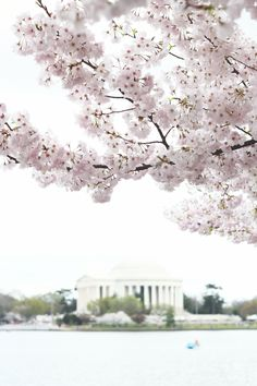 Cherry blossoms in the spring. (Washington DC)