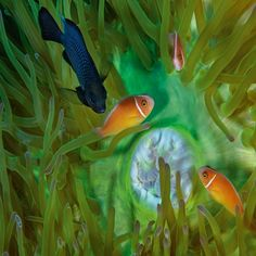 Threespot Damselfish, Papua Nova Guiné. Fotógrafo: David Doubilet.