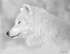 Arctic Wolf--John Day Photo