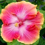 Tropical Hibiscus 'True Love'