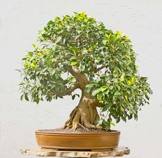 Walter Pall Bonsai Adventures: Ficus #1