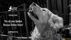 We're in the process of moving our Online Store in-house. We're excited about this initiative, but we ask you to bear with us until we make the necessary changes. If you'd like to buy any of the following items, email grstore@goldenrescue.ca for help: • Golden Reflections • calendars • Welcome doormats • Masks • Bracelets • Mugs • Xmas cards • Bandanas for our Goldens • Baseball caps • Bone magnets • Dog bowls • Poop bag holders • Note cards • Water bottles #retriever #rescue #grstore Grand Opening, Xmas Cards, Rescue Dogs, Check It Out, Dog Bowls, Swag, Product Launch, Bag Holders, Store