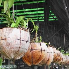 Coconut planters with orchids. Orchids Garden, Orchid Plants, Dendrobium Orchids, Growing Orchids, Recycled Garden, Orchid Care, Potting Soil, Diy Planters, Hanging Planters