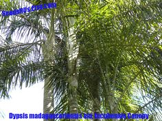 Dypsis madagascariensis var. lucubensis- Free Shipping - Fresh Seeds  - Tropical Palm by SeedsRUs on Etsy