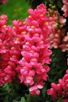 Snapdragons....when I was a kid, I loved to pinch the flowers and make them 'talk.'