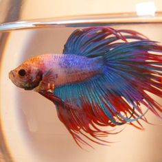 Caring for Betta Fish. The Siamese fighting fish, also known as a Betta fish, is a very popular pet due to its colors and ornate appearance. Betta Fish Tank Mates, Betta Fish Bowl, Betta Fish Types, Betta Fish Care, Betta Tank, Beta Fish, Betta Aquarium, Colorful Fish, Tropical Fish