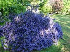 Billedresultat for blue mound ceanothus