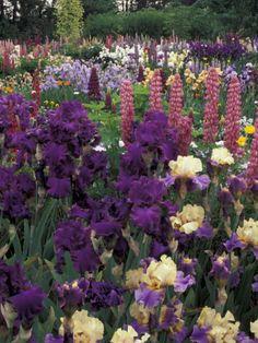Iris and Lupine Garden, Salem, Oregon, USA Photographic Print by Adam Jones at Art.com