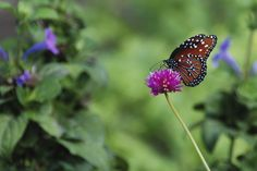 Queen butterfly nectaring on purple flower in butterfly garden designed by Brent Knoll of Knoll Landscape Design