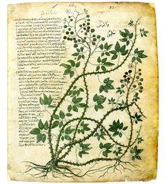 Rubus fruticosus. Da Dioscoride, De materia medica, circa 512, Österreichische Nationalbibliothek, Cod. med. gr. 1, f. 83.