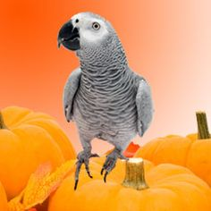 October is a great month to prepare your pet bird for the winter months. Check out our list of Bird-Safe Fall Activities and Snacks for October and Share it with your fellow bird lovers.