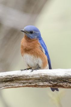 Blue Birds at Argyle Park | by Macomb Paynes