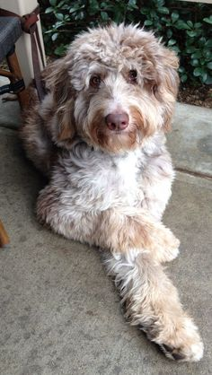 About Aussiedoodles – omg!!! Cutest dog ever!!! Reminds me of a mix of my Fiona and my dog King. The perfect combo!!