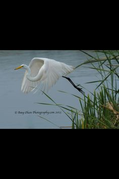 Great white Egret, finding flight