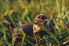(Dań kilka z chrabąszcza majowego) Skoro maj to i fruwające w tym okresie chrabąszcze, których wysyp przypada tak co cztery lata. Wynika to z ich cyklu... Kili, Bushcraft, Wildlife, Maj, Massage, Gardens, Insects, Plants, Garden Care