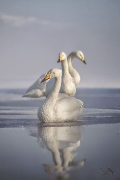 three whooper swan in Japan