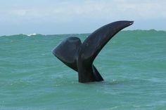 Southern Right Whale Tail in De Kelders