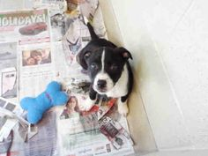 I'm Charlotte, by the way. I'm can't wait for all the exciting things that we are going to do together. We're going to play games every day, and I'm going to have all sorts of different types of toys. I am a female, black and white Hound mix and I am about 10 weeks old. (ID#A075598)
