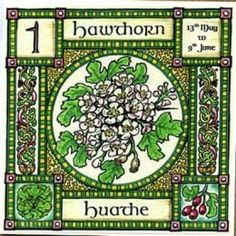 """Hawthorn, Ogham name Huathe, rules 13th May to 9th June. Mayflowers, the blossom of the Hawthorn, are associated with purity and innocence, and are used to crown the Mayqueen, but the """"Faerie thorn"""" is also the entrance to the Otherworld........... so beware!"""