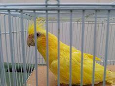Dark yellow/lemon yellow lutino pastel face female cockatiel Cockatiel Care, Budgies, Parrots, Cockatoo, Love Pet, Lemon Yellow, Love Birds, Gender Female, Animals And Pets