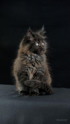 1080x1920 Sự thật về maine coon mèo. đen