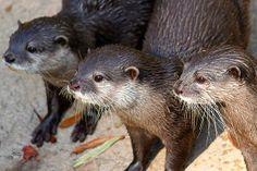 """Three Otters"" A photo of three otters."