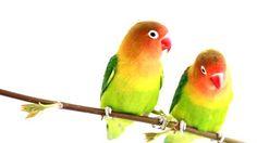 love birds - Google Search