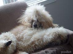 Poodle Hairstyle: week 30