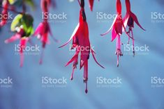 The Largest Growing Fuchsia in the World! Kōtukutuku is found. Free Stock, Beauty Photos, Native Plants, Image Now, New Zealand, Nativity, Flora, Stock Photos, Photography