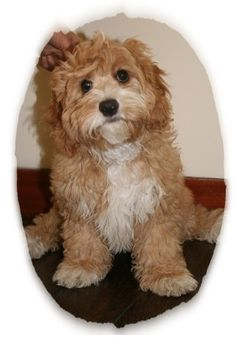 Cavapoo (oh my gosh, adorable & it probably wouldnt eat Montego)