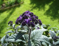 heliotrope, always plant these in my purple pot. They smell soooo good!