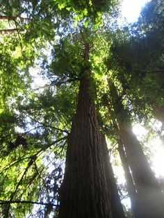 Muir Woods, Mill Valley, California
