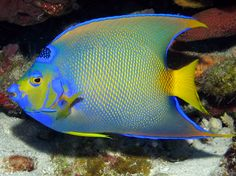 Florent's Guide To The Tropical Reefs - Queen Angelfish - Holacanthus ciliaris - Angelfishes - - Angelfishes - Caribbean, Bahamas, Florida, Bermuda, Gulf of Mexico - Salt Water Fish, Salt And Water, Fresh Water, Freshwater Plants, Freshwater Aquarium, Saltwater Aquarium, Aquarium Fish, Saltwater Tank, Saltwater Fishing