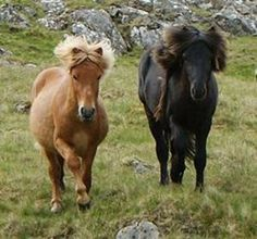 Faeroes Pony: Breed History and Characteristics - Yahoo! Voices - voices.yahoo.com
