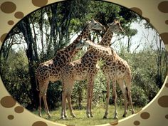 Giraffes give a whole meaning to the term 'necking.' In order to establish dominance and breeding rights, males violently thrash their heads and necks against the necks of competing males. Free Pictures, Cool Pictures, Animal Cognition, Animal Science, Head And Neck, West Africa, Zebras, Baby Animals, African