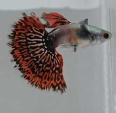 Red Mosaic Big Ear Guppies, group of 4 juveniles 1 month old Rare and Beautiful