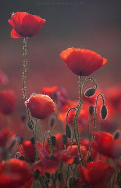 Poppies by wildflower and nature photographer Camilo Margelí.Red Poppies by wildflower and nature photographer Camilo Margelí. Amazing Flowers, My Flower, Flower Power, Beautiful Flowers, Flower Colors, Red Poppies, Poppy Flowers, Belle Photo, Planting Flowers
