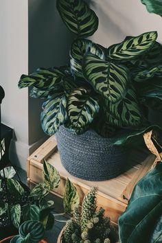 peacock plant - CALATHEA