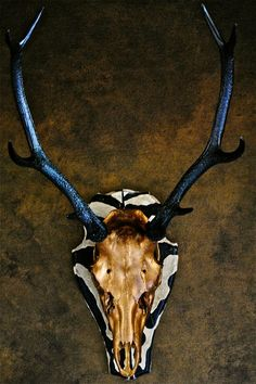 Skull art, mounted stags head, tarished gold with zebra print, stags head wall mount, real animal skull,stags head