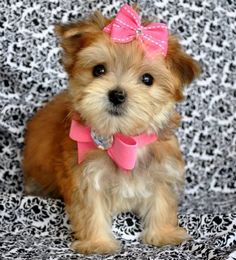 Teacup Morkie puppy. Cross between a yorkie and a maltese. How cute is she... :D