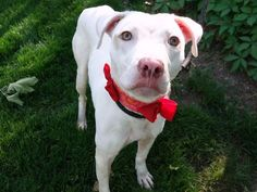SAFE 6-4-2015 --- Manhattan Center CRESCENDO – A1037038 FEMALE, WHITE / BROWN, AM PIT BULL TER MIX, 8 mos STRAY – STRAY WAIT, NO HOLD Reason STRAY Intake condition UNSPECIFIE Intake Date 05/21/2015