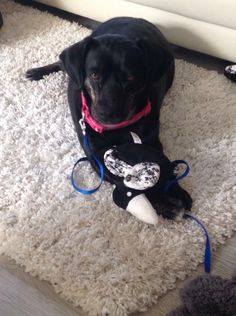 STILL MISSING:(Lilah has been missing since 28.11.15 from Hilton Park Services on the M6. Lilah is a small black Labrador-cross, with a white chest.Lilah is chipped.There is a reward for Lilah's safe return
