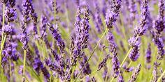 Lav dine egne lavendel-planter. Se her hvor let du kan tage stiklinger fra lavendel og lave dine egne planter. Det er let, sjovt - og næsten gratis #Balcony #Lavender #Gardening