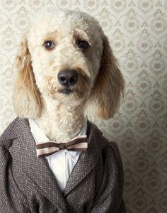 Standard Poodle Dogs