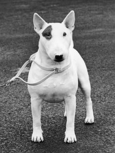 Champion Abraxas Audacity Crufts, Best in Show, 1972.  NOthing is more entertaining than a bull terrier.  Mine was sheer pleasure.
