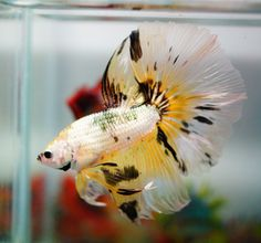Copper dragon halfmoon plakat male bettas pinterest for Yellow koi fish for sale