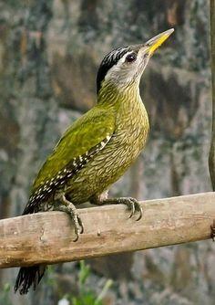 El pito culigualdo o pito de garganta rayada (Picus xanthopygaeus) Es de tamaño mediano, de color verde, con la garganta rayada y las partes inferiores blanquecinas escamadas. Es verde en la parte superior con la rabadilla amarillenta y superciliares blancas. La corona es roja en los machos y negruzca en las hembras.