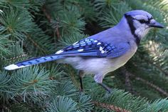 How much do you know about the blue jay? Learn their appearance, foods, habitat, behavior and reproduction, as well as range and voice.