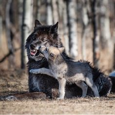 Wolf pup and an angry mom. Beautiful Wolves, Animals Beautiful, Cute Animals, Wolf Photos, Wolf Pictures, Wolf Spirit, Spirit Animal, Planeta Animal, Regard Animal