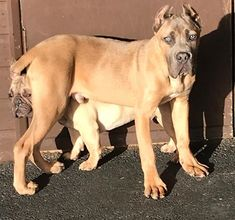 Our Cropped Cane Corso Protection Dogs and puppies for sale in UK are fully trained.This can be either as a family protection dog, personal or security dog. Puppies For Sale, Dogs And Puppies, Cane Corso For Sale, Cane Corso Dog, Animals, Animales, Animaux, Animal, Animais